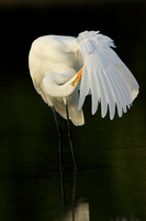 109-Great Egret Preening