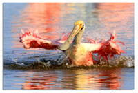 222-Splish, Splash, Spoonbill Bath