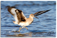 1006-Willet Wings