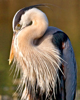 716-Great Blue Heron Preening