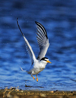 1143-Least Tern Takeoff