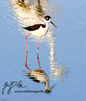 1136-Black Necked Stilt and Reflections