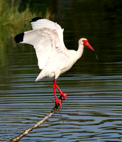 420-White Ibis on Perch, Lakes Park