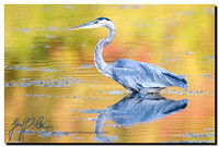 0107-Great Blue Heron & Fall Reflections