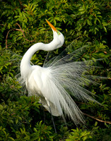 1717-Great Egret Mating Display