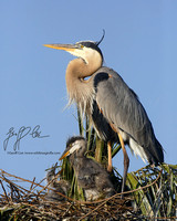 1131-Great Blue Herons on nest