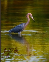 1137-Reddish Egret in Repose
