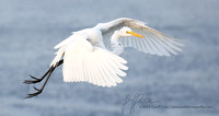 1132-Great Egret in Flight