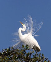 139-Great Egret Breeding Display