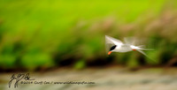 1209-Forster's Tern in Flight