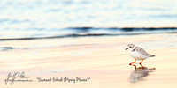 1060-Piping Plover Sunset Stroll