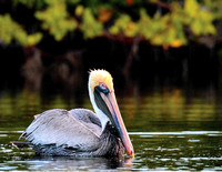 NC05-Pelican and Mangroves (FL)